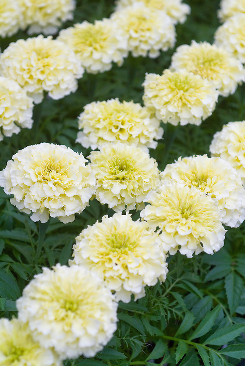 Us 129 Bellfarm 100pcs White Marigold French Vanilla Hybrid