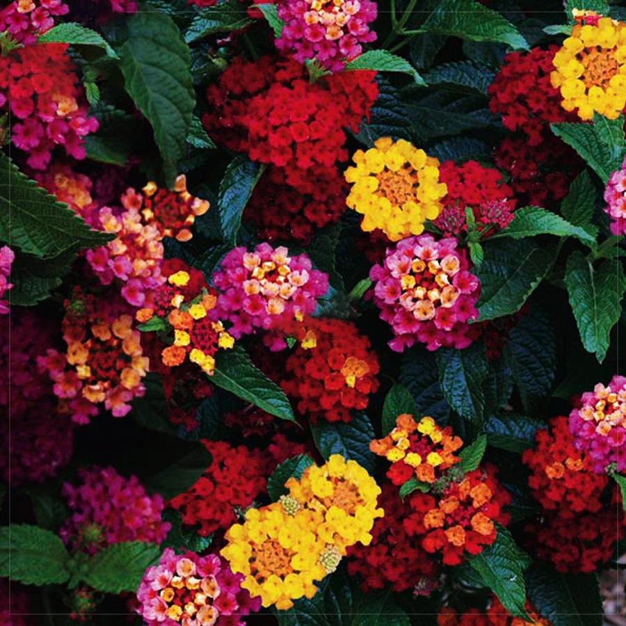 Us 138 Bellfarm Lantana Camara Perennial Bonsai Flowers 20