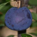 BELLFARM 20PCS Black Plum Prunus 'Lydecker' Fruit Seeds, Big Sweet Little Sour Fruits High Yield Garden