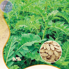 Astragalus Herb Plant Seeds, Original pack, 20 Seeds,  high medicinal value  WSFE013