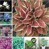 Exotic Hosta Plant Seed Four Seasons Flower Perennial Mixed Plantain Lily Flower Ground Cover Flower Seed Garden Supplies 50pcs (mixed)