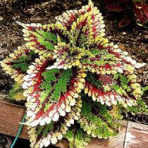 BELLFARM Rare Coleus Bonsai Foliage Plants seeds 30pcs Perfect Colorful Coleus Blumei Beautiful Flowers Home Garden