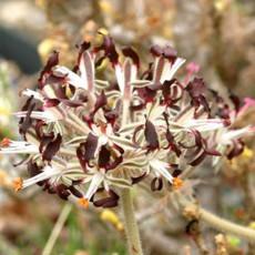 10PCS Pelargonium Auritum Geranium Seeds, Bonsai Garden Ligulate Rounded Slightly Smaller Dark Purple Black Petals