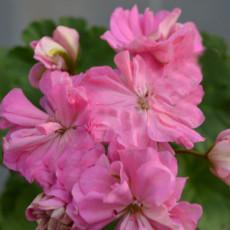 BELLFARM Brookside Fantasy Light Pink Geranium Seeds, 10 Seeds, Semidouble Pelargonium