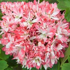 BELLFARM 'Thousand-Hand Kwan-yin' Geranium Pink White Flowers Seeds, 10 Seeds, Rare Pelargonium Cluster of Ball Flowers