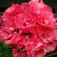 BELLFARM 'Liuyu' Pinkish Red Geranium Flowers Seeds, 10 Seeds/pack, Heirloom Pelargonium hortorum