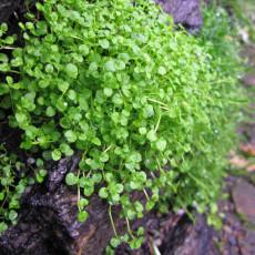 50PCS Mentha Requienii Seeds Mint Plant Bonsai Flower Seeds Grass Seeds