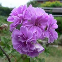 BELLFARM 'Precision Amethyst' Ivy Geranium Plant Seeds, 10 Seeds, heirloom Purple Pelargonium Flowers