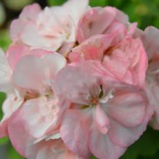 BELLFARM 'Odensjo Ljus och Varme' Geranium White Light Orange Flowers Seeds. 10 Seeds, Pelaegonium Semidouble