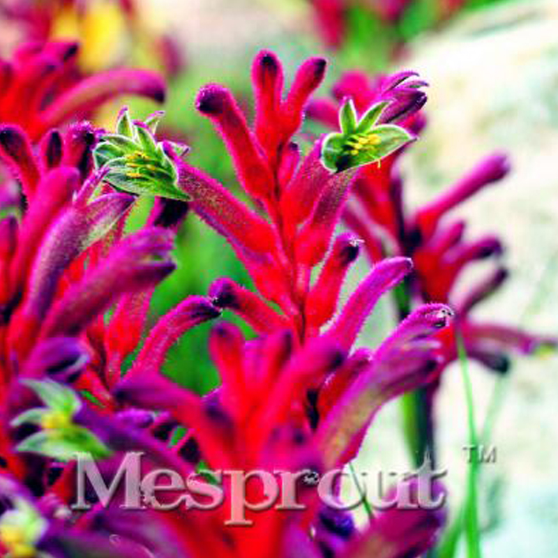 BELLFARM Kangaroo Paw Rare Flowers Seeds, 20 Seeds, Heirloom Garden Annual Home Flowers