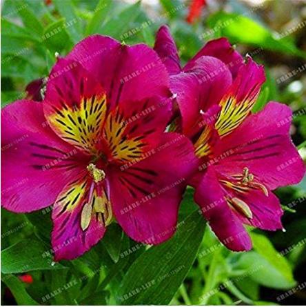 Us 1 34 100 Seeds Alstroemeria Seeds Peruvian Lily Alstroemeria Inca Bandit Princess Lily M Deargogo Com