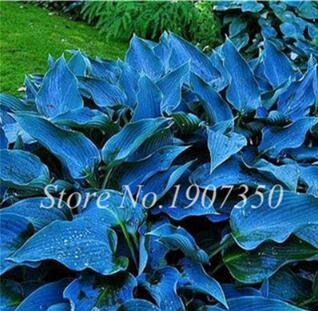 120 Colorful Hosta Seeds Perfect Color Perennials Plantain Mixed Beautiful Lily Flower White Lace Home Garden Ground Cover Plant