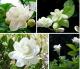 BELLFARM 20PCS/bag jasmine seeds indoor plants perennial flower seeds