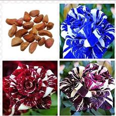 30Pcs Rare Dragon Striped Rose Flower Seeds Bonsai Garden Decor Plants (Red, Blue or Purple)