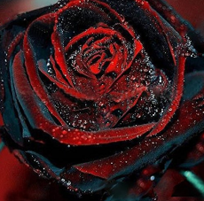 100Pcs Black Rose Seeds Flower With Red Edge Rare Rose Garden