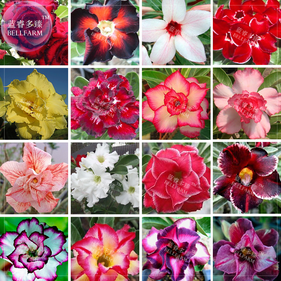 Us 2699 Bellfarm Bonsai Adenium Mixed 16 Colors Big Blooms