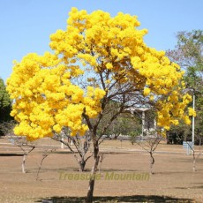 BELLFARM 50PCS Rare Golden Trumpet Tree Plants Seeds Tabebuia Chrysotricha Seeds beautiful home plant