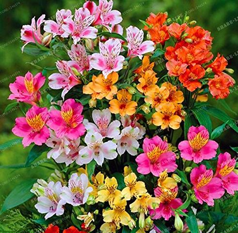 Us 1 39 100pcs Alstroemeria Seeds Peruvian Lily Alstroemeria Inca Bandit Princess Lily Bonsai M Deargogo Com