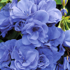BELLFARM 10PCS Geranium 'Sky Blue Noon' Blue Perennial Flowers Seeds, Pelargonium Fragrant Double Home Garden Flowers