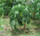 Bonsai Fruit Dwarf Papaya Seeds, Miniature Pawpaw, 50pcs