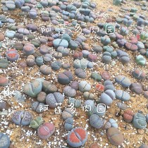 South Africa Mixed Lithops Seedlings Lovely Living Stones Plants