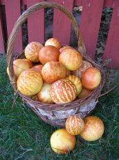 Heirloom Tigger Sweet Melon 10 Seeds 12% Sugar Contained Melon Yellow Golden Stripes