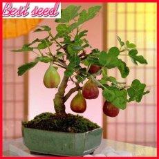 100pcs Rare Tropical Fig Seeds Mini Fig Tree Bonsai Plant seeds Rare Fruit Seeds for Home Planting Germination