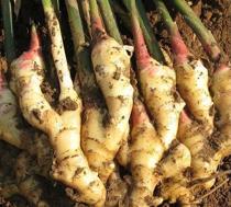 Perennial ginger seeds vegetable seeds zingiber officinale seeds balcony fruits and vegetables - 100 pcs