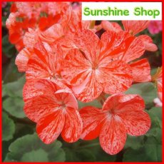 Geranium 'Avenida' Pink Orange Flowers, 10PCS Pelargonium Heirloom Single Petals Bonsai for Home Garden Perennial