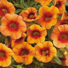 Apricot Punch Calibrachoa Organic Petunia Seed, 200 Seed/Pack, Big Blooms Bonsai Flower Seed