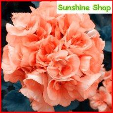 10PCS Geranium Orangish Red Ball-typed Big Blooms Bonsai Flowers, Heirloom Garden Fragrant Flowers
