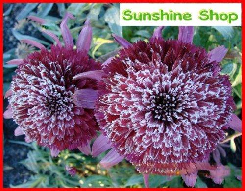 Us 1 59 Rare Snow Purple Echinacea Flower Plant Coneflower