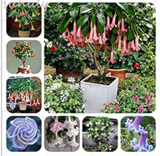 100 pcs mix colors bonsai fragrant flower dwarf brugmansia datura seeds rare brugmansia angel trumpets for home garden plants