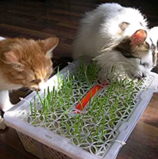 Higarden Cat grass seed grass seed eating kittens 200 pcs