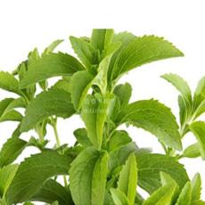 400 Stevia Herbs Seeds Green Herb