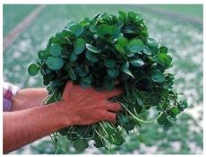 +500 PCS Seeds of Watercress Greens Aqua Seeds E52, Heirloom Organic Non-GMO