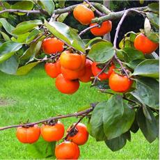 Rare Persimmon Seed Organic Non-GMO  Juicy Succulent fruit trees 20 pcs/bag