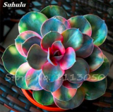Echeveria Seeds Green Red Pink Yellow Colorful Succulent Plants