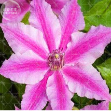 2pcs Clematis Bulbs Blue Climbing Clematis Seeds Perennial climbing of evergreen flowering plants Rare Flower for home