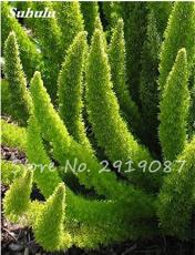 100Pcs Foxtail Seeds,Foxtail Ferns Rare Ornamental Bonsai Plants Perennial Flowers Natural Growth