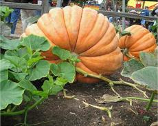 20Pcs Super Large Pumpkin Seeds