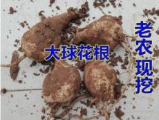 2PCS Dahlia Bulbs Different Varieties