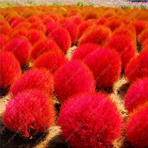 9 kinds of Kochia scoparia Grass seeds Perennial Grass Burning Bush 100PCS