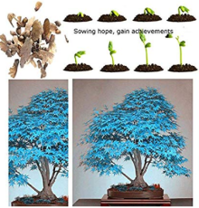 Maple Tree Palatum Bonsai 20pcs Purple Blue Ghost Japanese Flower Seeds Tree Seeds Potted Plant For Home Garden