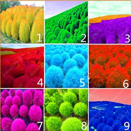 Us 1 35 9 Kinds Of Kochia Scoparia Grass Seeds Perennial Grass