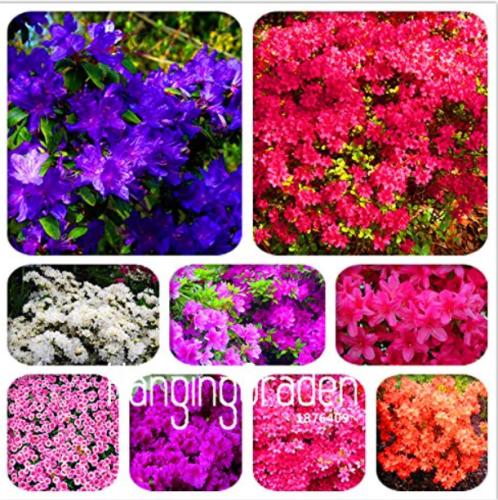 Us 1 39 100 Mixed Japanese Azalea Seeds Rhododendron Lateritium Planch M Deargogo Com
