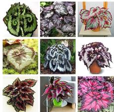 30PCS Mixed 9 Colors Coleus Blumei Perennial Flowers Seeds
