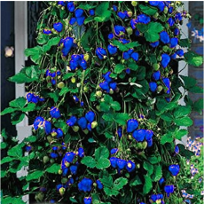 500Pcs Blue Strawberry Seeds
