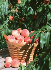 10pcs Sweet Pink Red Peach Tree Seeds