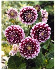 True Color Dahlia Bulb Flower Not Dahlia Seeds Flower Bulbs Symbolizes Courage 2 Bulb